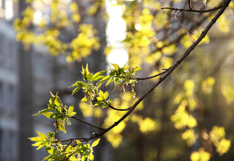 Spring in the city. And tree branch with buds royalty free stock photography