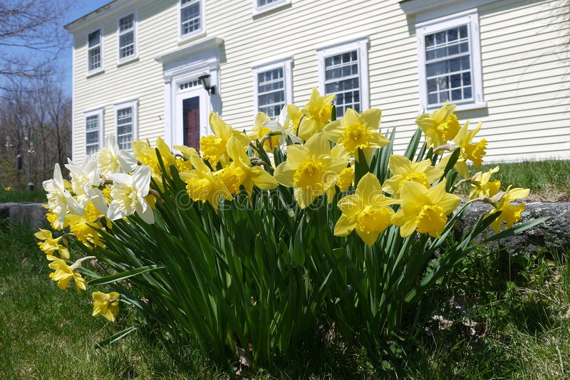 Spring: colonial house with yellow daffodils. Sunlit yellow daffodils in garden of American colonial house royalty free stock images