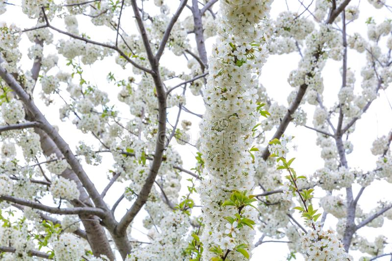Spring color on trees. Against nature background, cherry, flower, blossom, flowers, pink, garden, season, colorful, fall, beautiful, light, beauty, natural, new stock images