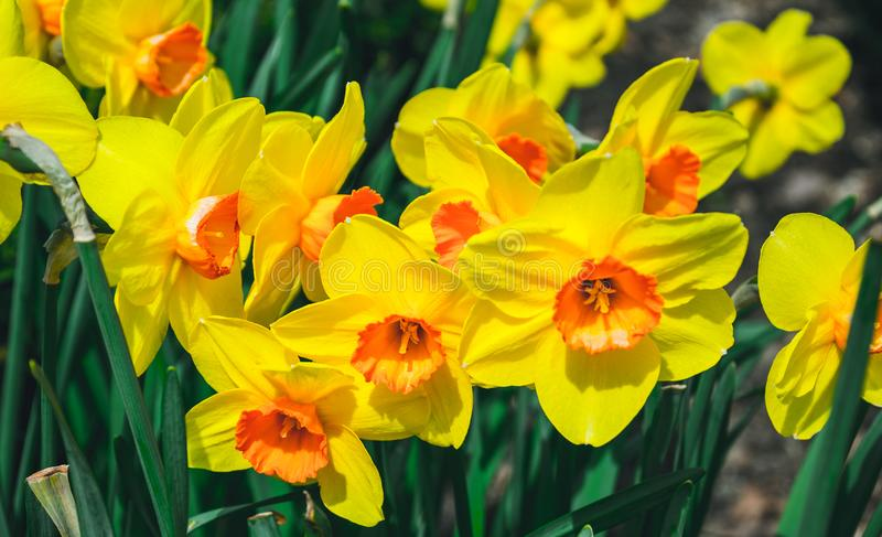 Bright spring garden. A picturesque flower bed with flowering daffodils stock photo