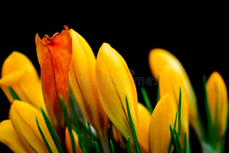 Bouquet of Spring colorful flowers. Spring colorful flowers, bouquet, group, head, nature, on black background, yellow and orange tulip royalty free stock images