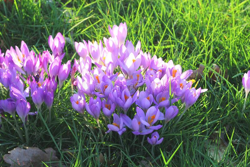 Spring is coming with Dutch crocuses,Holland. Spring is coming in the Netherlands with flowering crocuses royalty free stock images