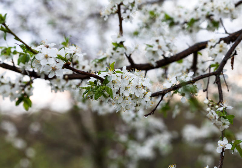 Spring is coming. Flowering branch of cherry blossoms in early spring royalty free stock photos
