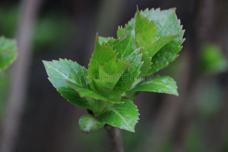 Budding Green Leaves in Spring. Spring is Coming, A Growing Season, The New Circle will begin royalty free stock image
