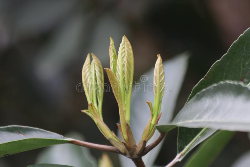 Budding Green Leaves in Spring. Spring is Coming, A Growing Season, The New Circle will begin stock photos