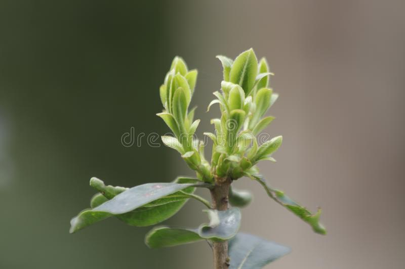 Budding Green Leaves in Spring. Spring is Coming, A Growing Season, The New Circle will begin stock images