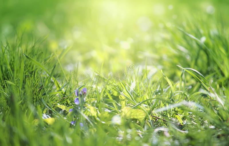 Spring is coming, light blue border background with grass and violet flower, shine, blurred image with place for text royalty free stock image