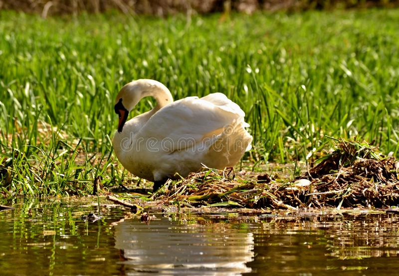 A swan on a nest with an egg royalty free stock photo