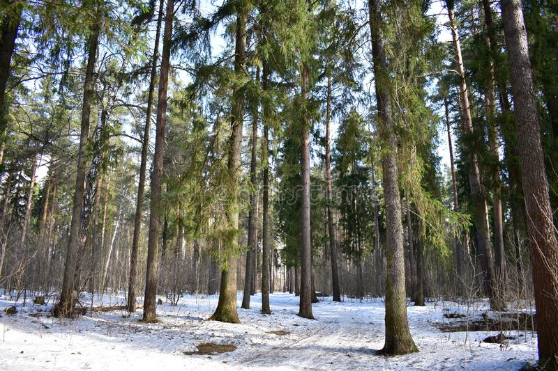 Spring coniferous forest one of the most amazing natural phenomena. Spring coniferous forest. Spring forest elegant and bright. Walking on it is a real pleasure stock images
