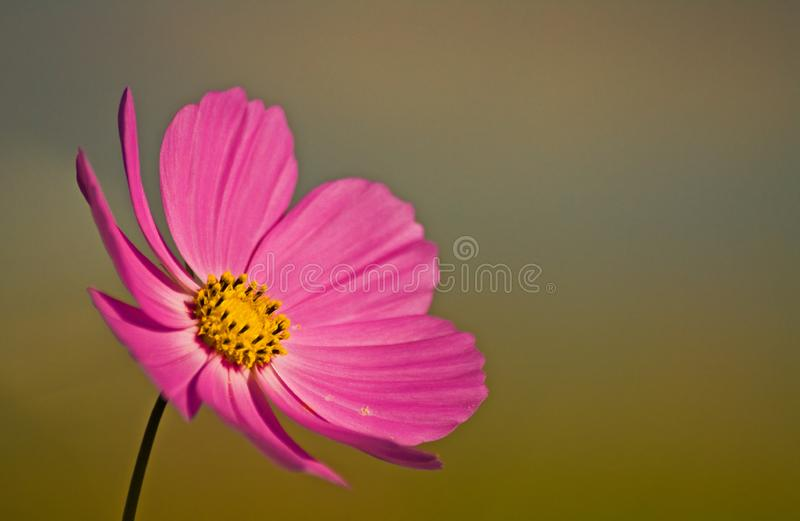 Spring Cosmos Portrait Free Stock Photography