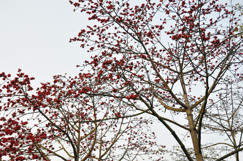 Spring Crimson Kapok Flowers Stock Photo