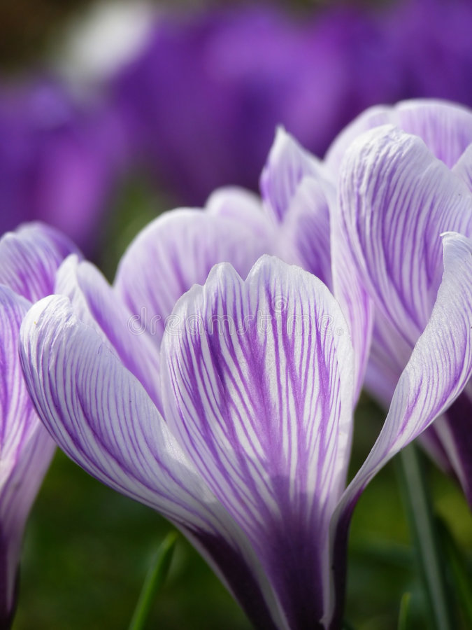 Spring crocus royalty free stock photos