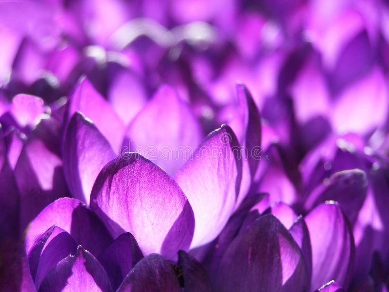 Spring crocus stock photo