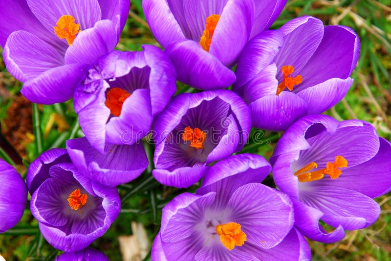 Spring crocus royalty free stock image