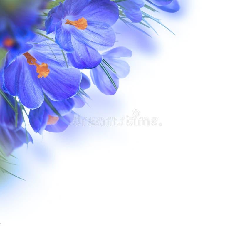 Spring crocus. Flower background stock photos