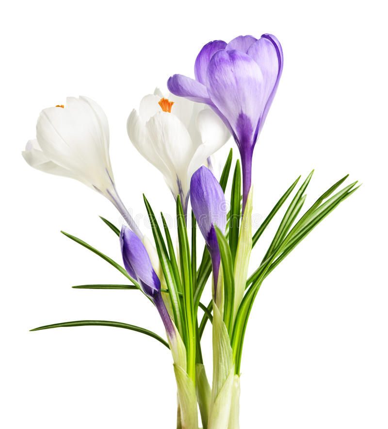 Spring Crocus Flowers Royalty Free Stock Images