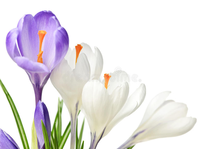 Spring crocus flowers stock photos