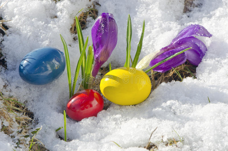 Spring crocus flowers on snow and easter eggs stock photo