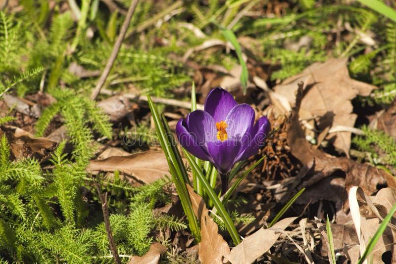 Spring Crocus - tommasinianus Barr's Purple stock images
