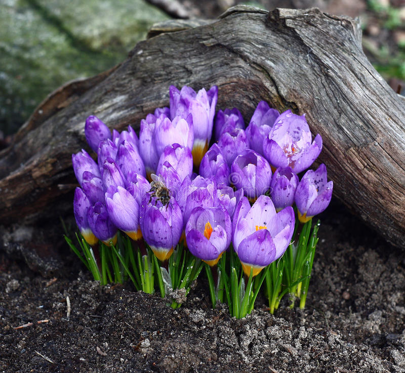 Spring.Crocuses. 免版税库存照片