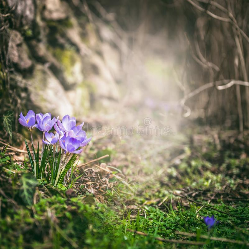 Spring crocuses in forest, springtime outdoor nature stock image