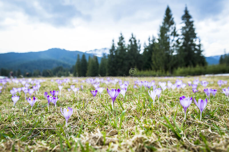 Download Spring Crocuses In Mountains Stock Photo - Image: 24462444