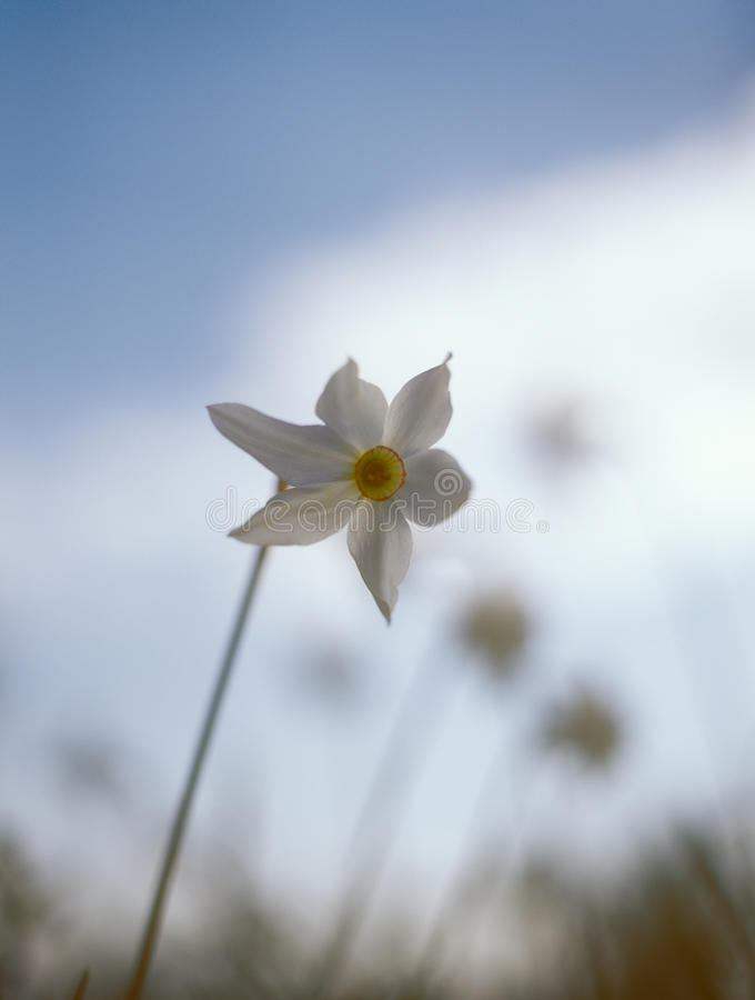 Spring daffodil. royalty free stock photo