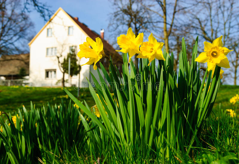 Spring daffodil farm royalty free stock photography