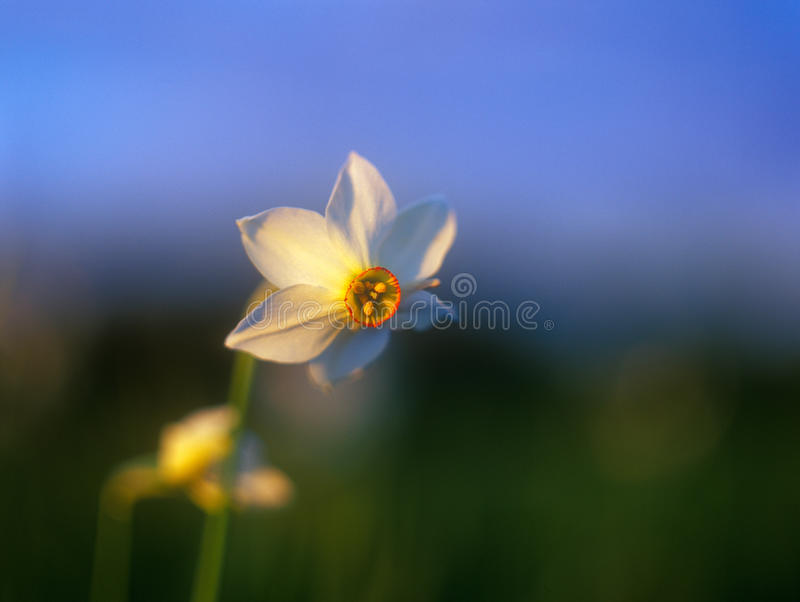 Download Spring Daffodil In The Warm Light Of Sunset. Stock Photography - Image: 23398252