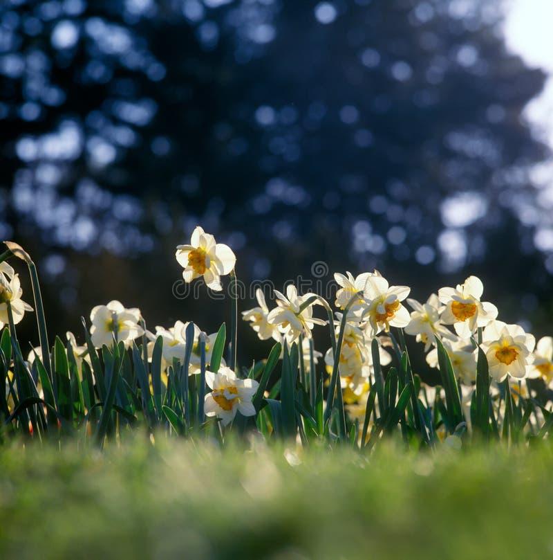 Spring daffodills. royalty free stock photography