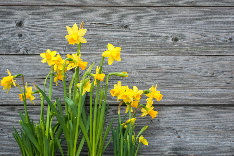 Spring daffodils. Against old wooden background royalty free stock photography