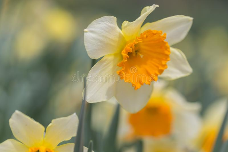 Spring Daffodils in Bloom Closeup stock photography