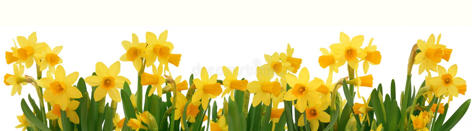 Image result for border of daffodils