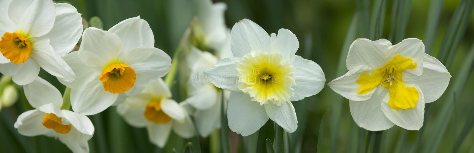 Spring daffodils. In the garden stock image