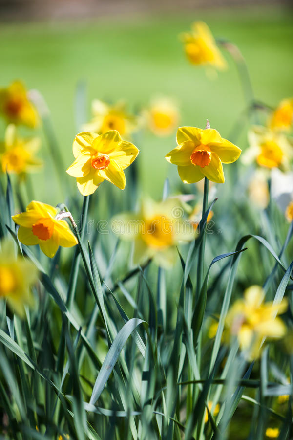 Spring daffodils. Shallow focus on daffodils growing on a bright and sunny English springtime meadow royalty free stock photography