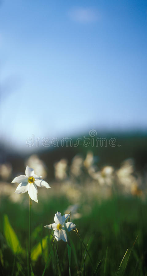 Download Spring Daffodils In The Warm Light Of Sunset. Stock Photo - Image: 22980270