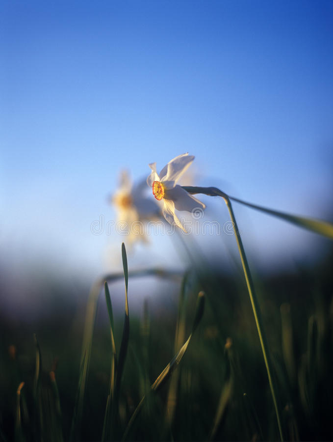 Spring daffodils in the warm light of sunset. stock images