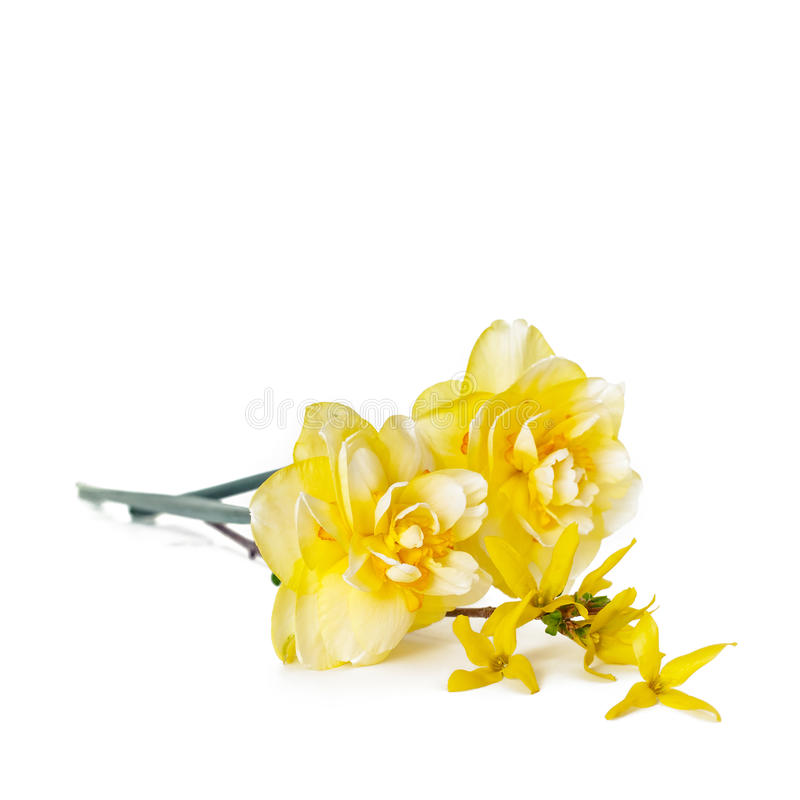 Spring daffodils. Yellow spring Daffodils with forsythia on white background. Horizontal with copy space royalty free stock photos
