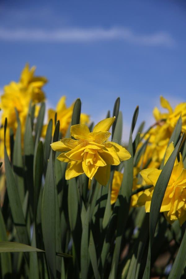 Free Spring Dafodils Stock Photos - 4984403