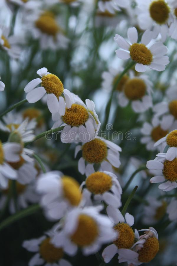 Spring daisies in early morning stock photography