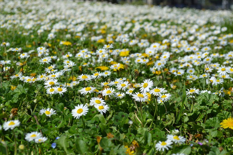 Spring Daisies Field stock image