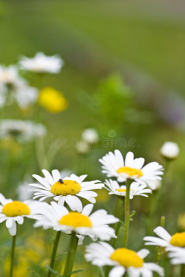 Free Spring Daisies Growing Against Blurred Background Royalty Free Stock Images - 14499569
