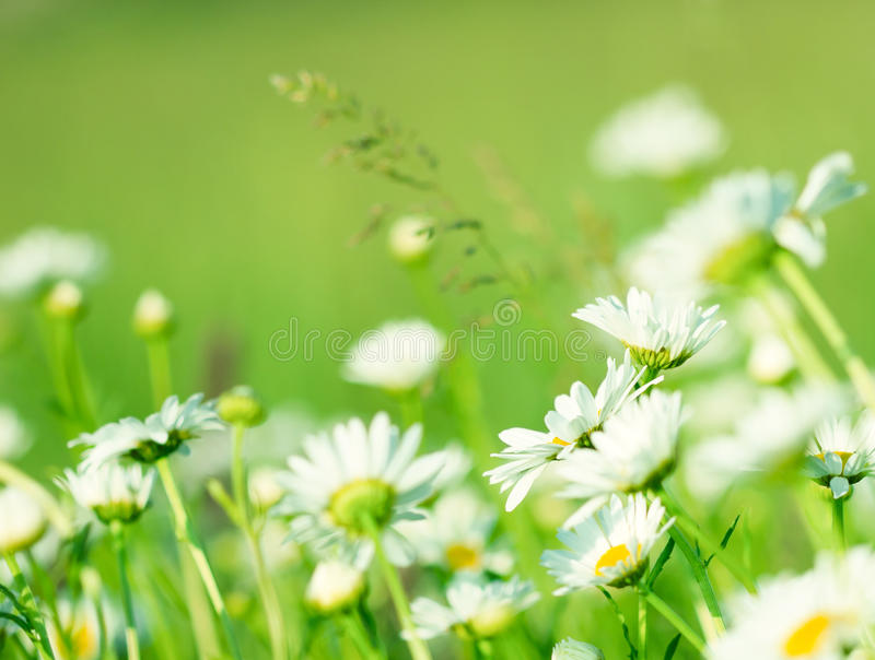 Download Spring Daisy Stock Images - Image: 25367134