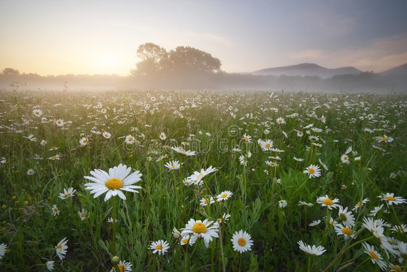 Spring daisy flowers at morning. royalty free stock photo