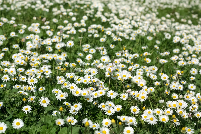 Download Spring Daisy Meadow stock photo. Image of beauty, easter - 39397758