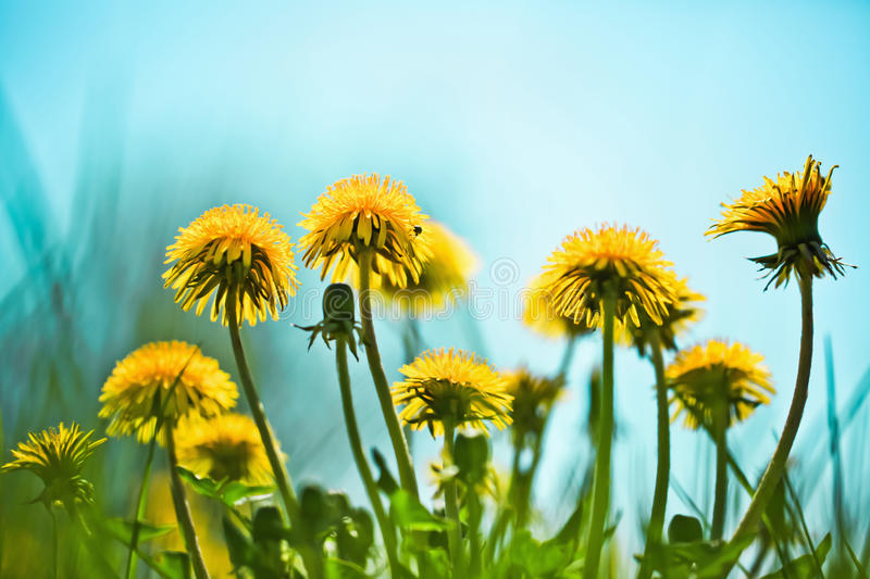 Download Spring dandelions stock image. Image of meadow, sunny - 29639661