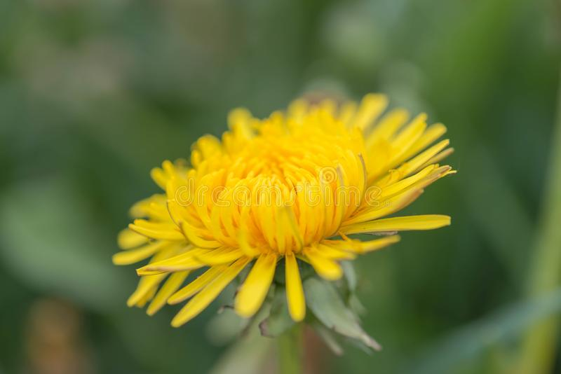 A dandelion blooming on a meadow. Spring day. A meadow covered with green grass, among the grasses there are numerous yellow flowers of a dandelion royalty free stock photos