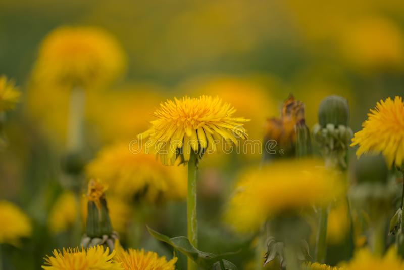 A dandelion blooming on a meadow. Spring day. A meadow covered with green grass, among the grasses there are numerous yellow flowers of a dandelion stock images