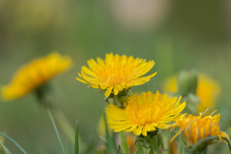 A dandelion blooming on a meadow. Spring day. A meadow covered with green grass, among the grasses there are numerous yellow flowers of a dandelion royalty free stock image