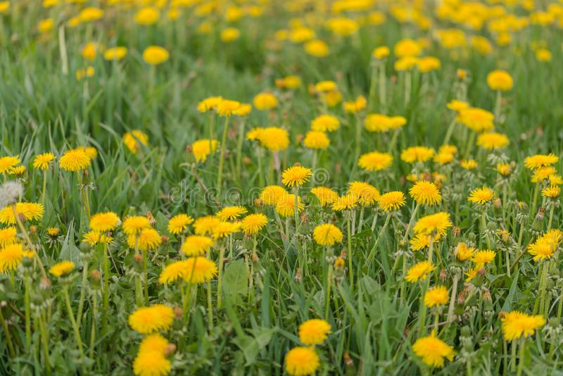 A dandelion blooming on a meadow. Spring day. A meadow covered with green grass, among the grasses there are numerous yellow flowers of a dandelion stock photos